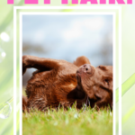 Chocolate lab in the grass