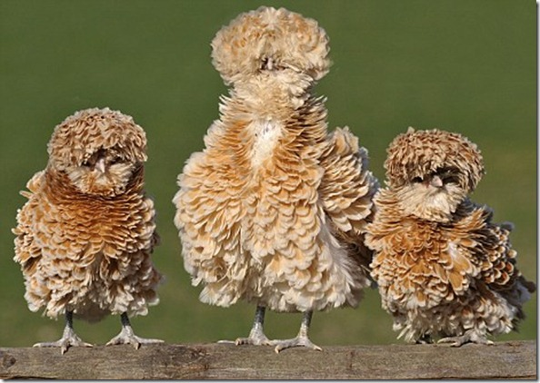 fluffy_chickens
